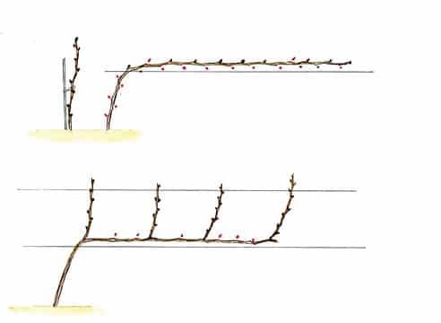 Когда и как правильно обрезать виноград весной для начинающих пошагово: инструкции и схемы