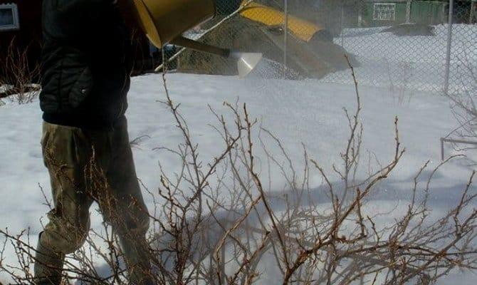 Лайфхак для садоводов: как правильно полить смородину кипятком весной и что это даст