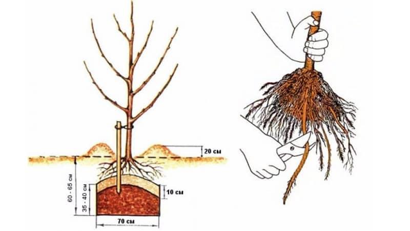 Инструкция для начинающих садоводов: как правильно посадить яблоню весной