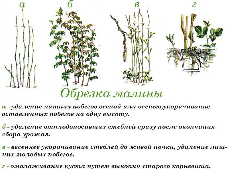 Как правильно проводить обработку малины весной от болезней и вредителей, какие средства применять