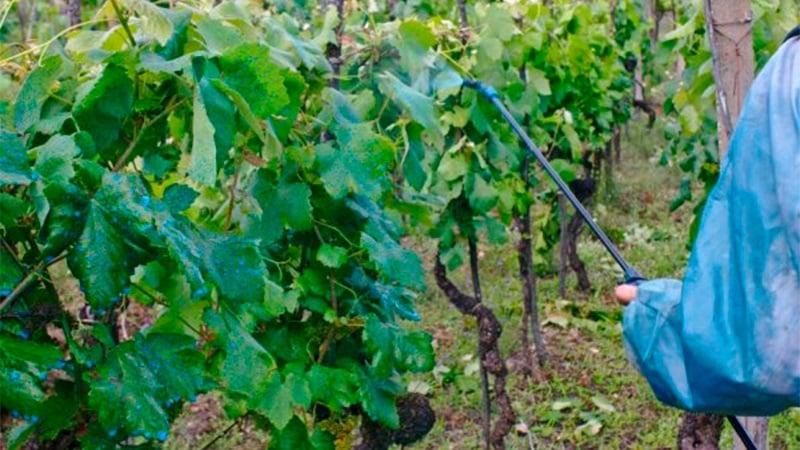 Как и чем подкормить виноград в июле в Средней полосе