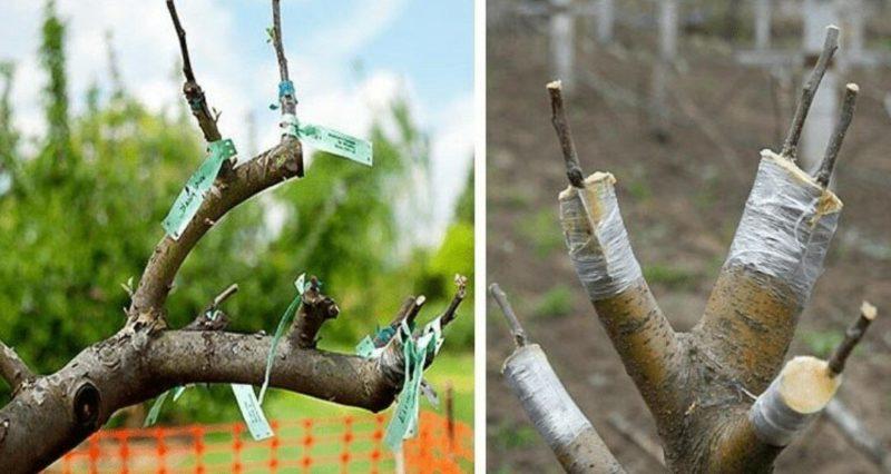 Руководство для начинающих садоводов пошагово: как привить яблоню весной