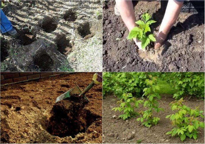 Пошаговая инструкция, как сажать малину весной правильно для начинающих садоводов