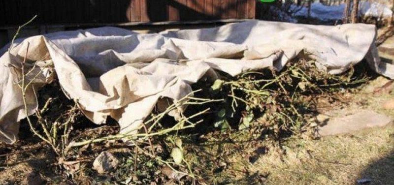 Руководство для начинающих цветоводов: как ухаживать за розами весной