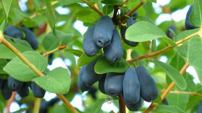 Какие на вкус ягоды жимолости: описание вкусовых качеств