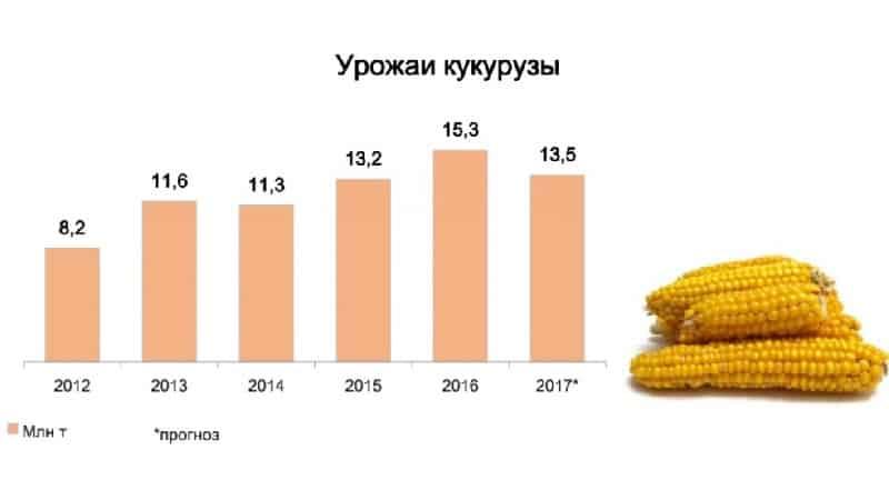 Какова урожайность кукурузы с 1 га: средний показатель, влияние вида сорта или гибрида и других факторов