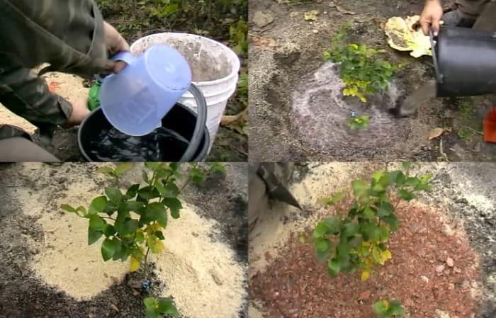 Инструкция по посадке голубики саженцами весной в открытый грунт
