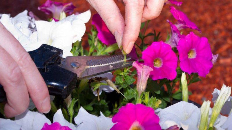Для чего нужна обрезка петунии в середине лета и как правильно её проводить