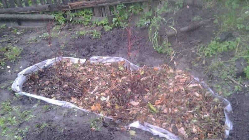 Пошаговая инструкция по пересадке голубики весной на новое место