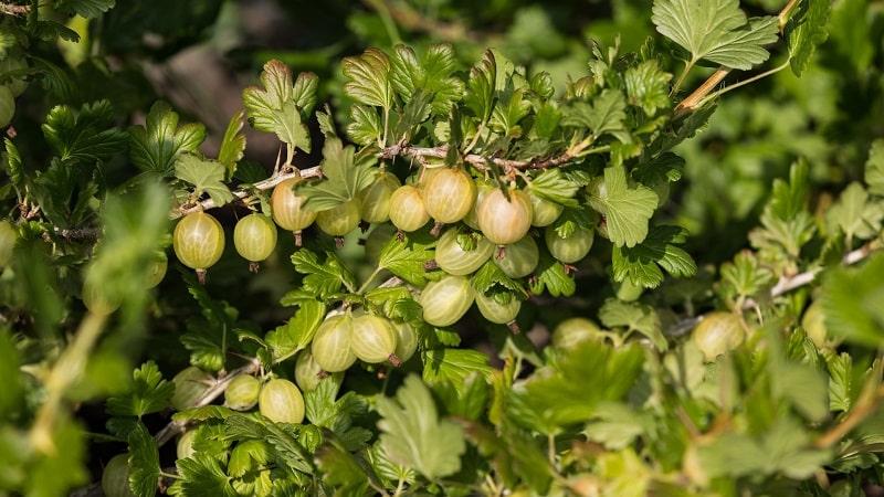 Плод крыжовника - описание и характеристики