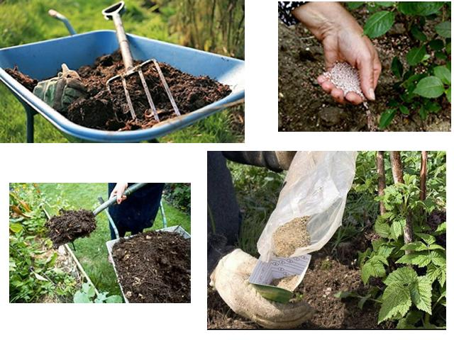 Как, когда и чем подкормить малину весной для хорошего урожая