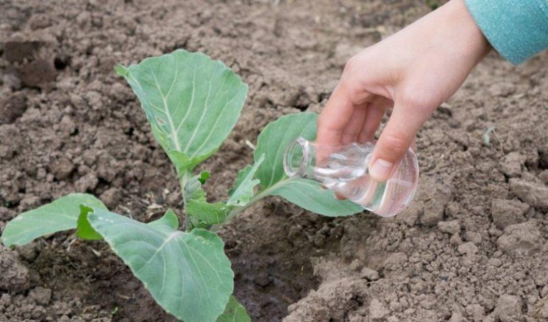 Высокоурожайный сорт капусты Московская Поздняя