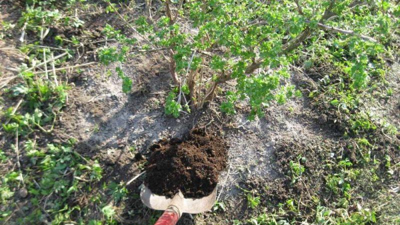 Выбор подкормки для смородины весной: чем и как удобрять кусты для хорошего урожая