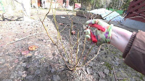 Пошаговая инструкция по обрезке голубики весной для начинающих садоводов