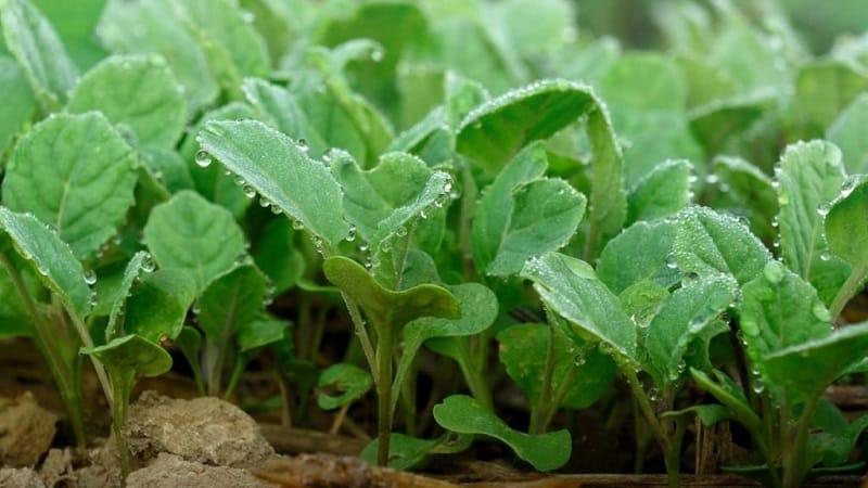 Позднеспелый гибрид капусты Анкома f1 для длительного хранения