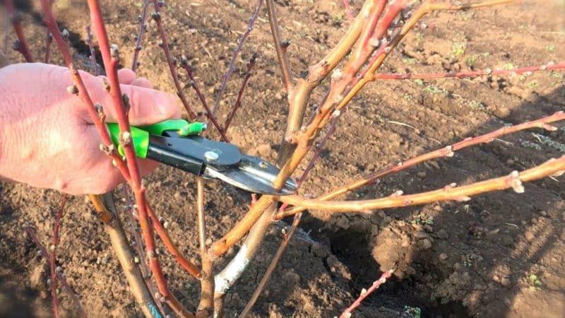 Как правильно проводить обрезку персика весной и почему она так важна