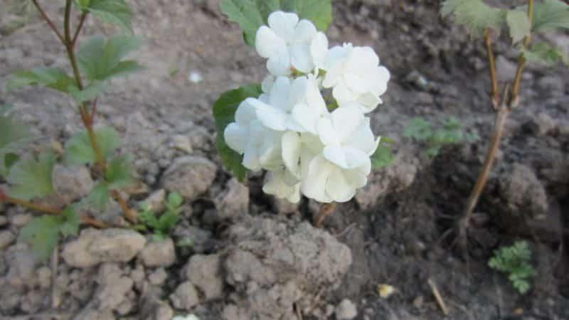 Четкое руководство по размножению калины Бульденеж весной черенками