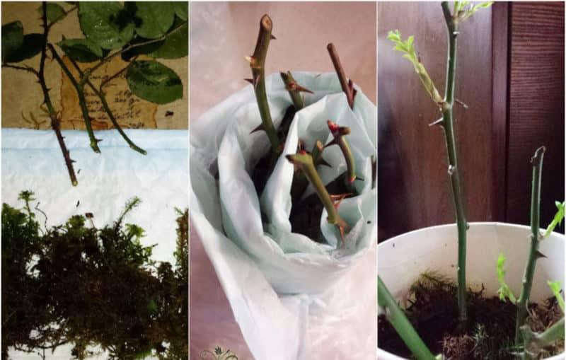 Простые способы, как сохранить черенки роз до весны и правильно их высадить