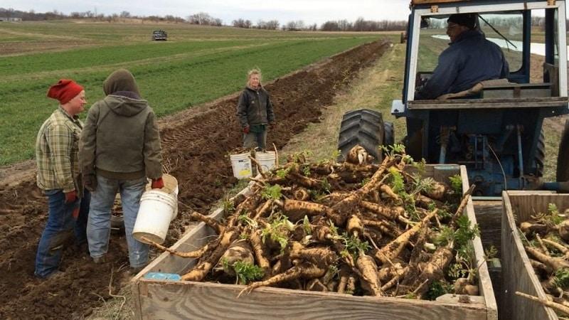 Выгодно ли выращивание хрена как бизнес и каковы особенности его агротехники в промышленных масштабах