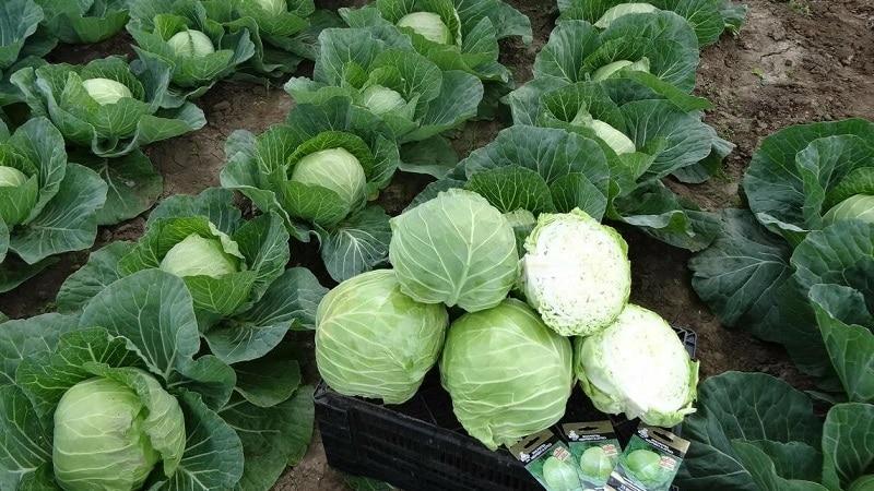 Высокоурожайный среднепоздний гибрид капусты Менза f1