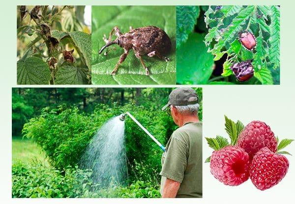 Инструкция по обработке малины летом от болезней и вредителей