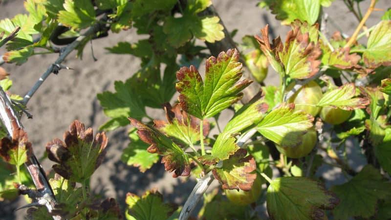 Почему появляются красные пятна на листьях крыжовника и как с этим бороться