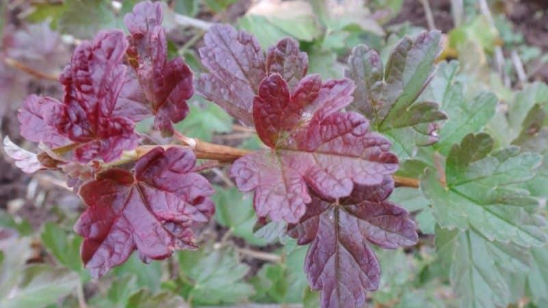 Почему появляются пятна на листьях крыжовника