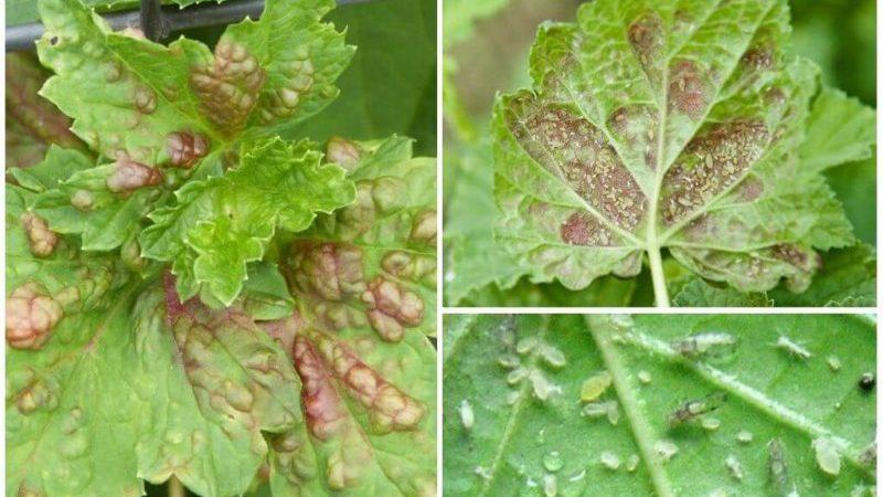 Почему у смородины бледные листья, что делать и как это исправить