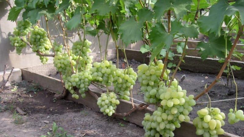 Топ лучших сортов винограда для средней полосы России