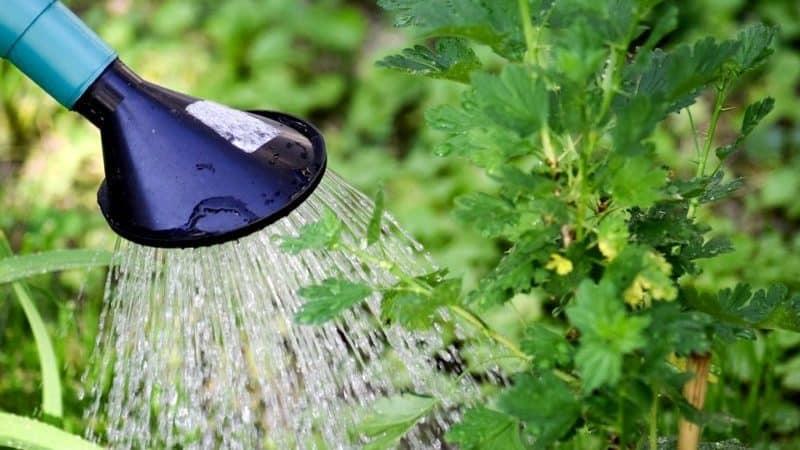 Насколько обильно и как часто поливать крыжовник и смородину летом