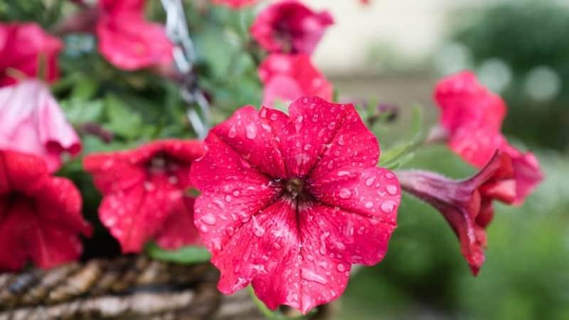 Как правильно реанимировать петунию после дождей, засухи или других неблагоприятных условий