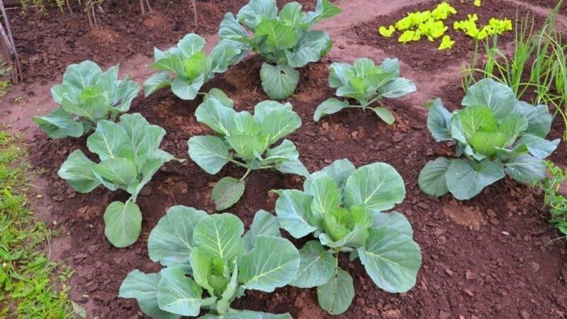 Как ухаживать за капустой в открытом грунте