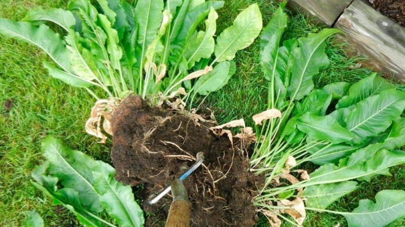 Самые эффективные способы, как избавиться от хрена на огороде быстро и навсегда