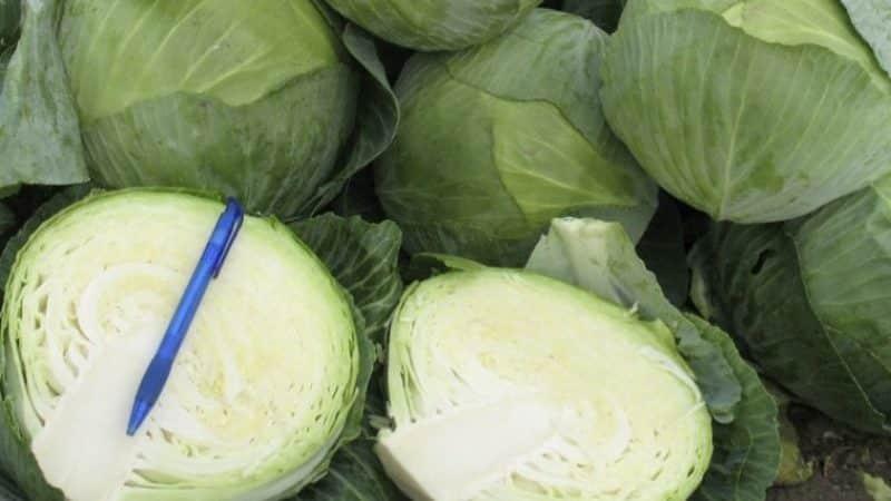 Вкусный среднеспелый гибрид капусты Краутман f1