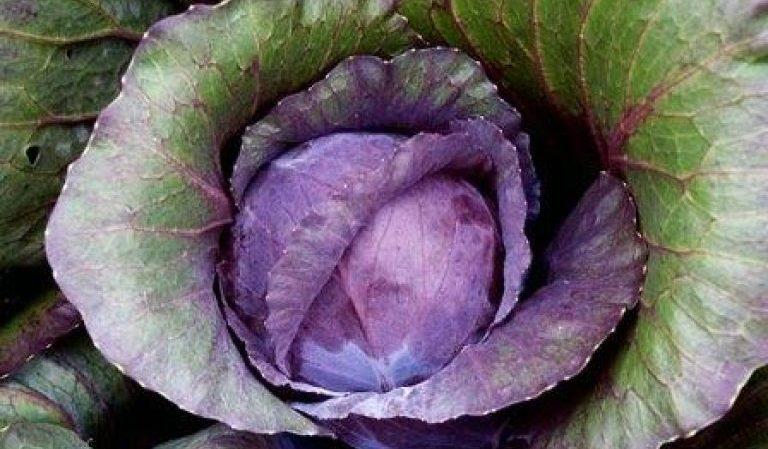 Почему листья у капусты стали фиолетовыми и что с этим делать