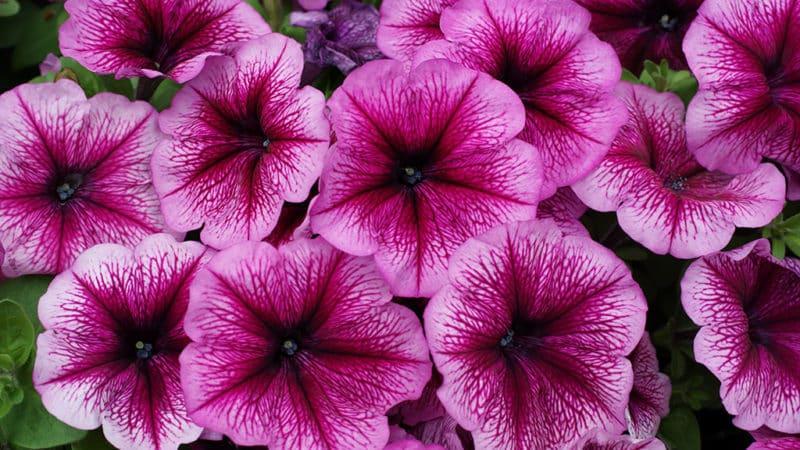 Виды и лучшие сорта многолетней петунии