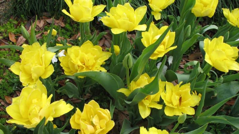 Руководство по посадке тюльпанов в августе для начинающих цветоводов