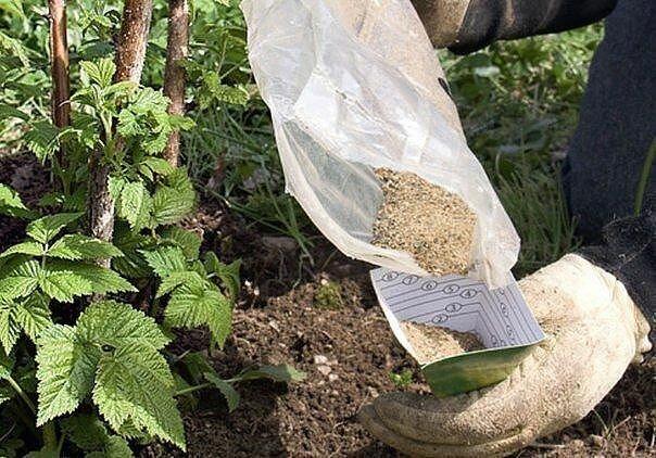 Чем лучше подкормить малину в июле для хорошего урожая