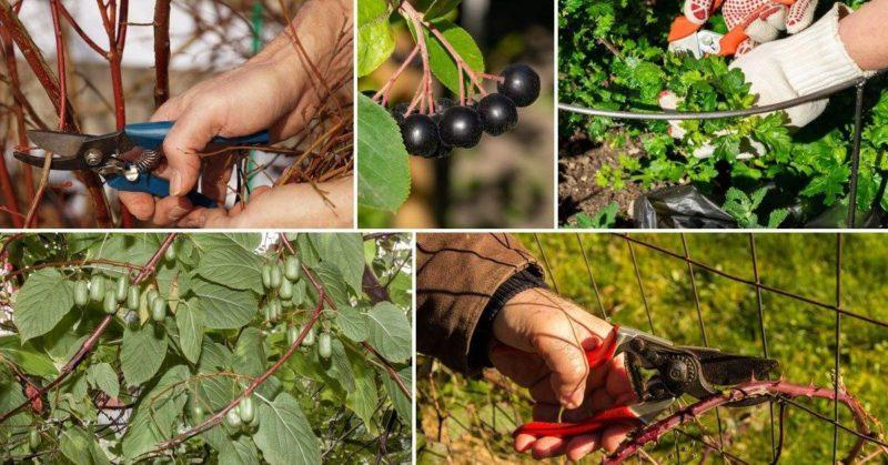 Сроки и технология обрезки кустов смородины и крыжовника весной, летом и осенью
