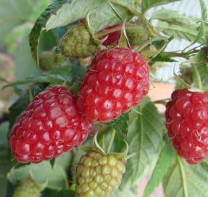 Характеристики и описание лучших сортов малины