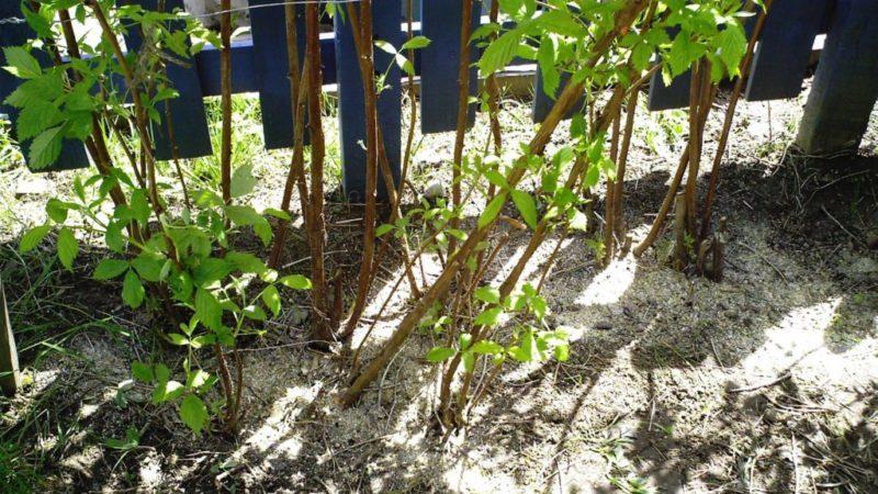 Как провести подкормку золой малины летом: инструкция