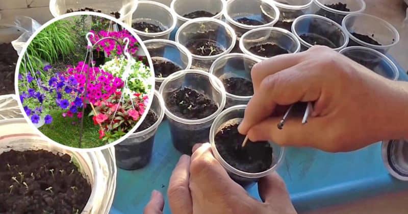 Как, когда и чем подкормить петунию для пышного цветения
