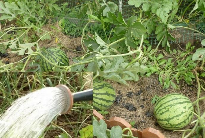 Как часто поливать арбузы и дыни в теплице и открытом грунте