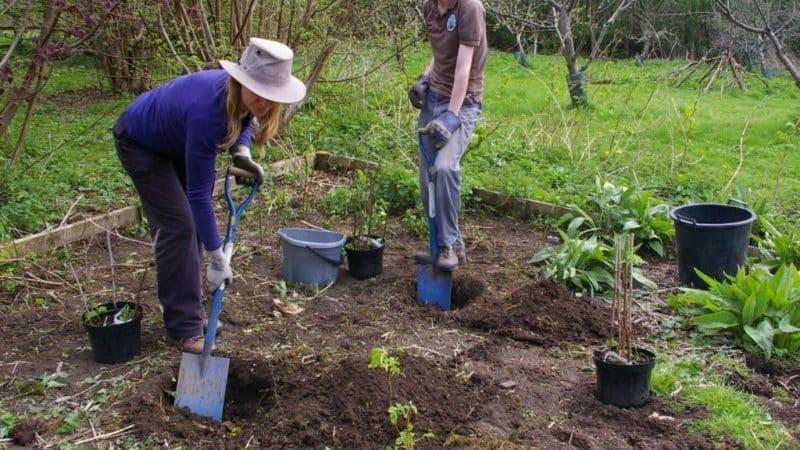 Как правильно посадить крыжовник саженцами