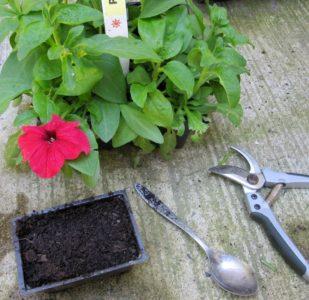 Посадка и уход за петунией во время цветения в горшке