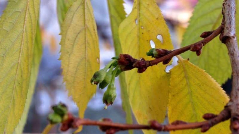 У вишни в июле желтеют листья: что делать и почему это происходит