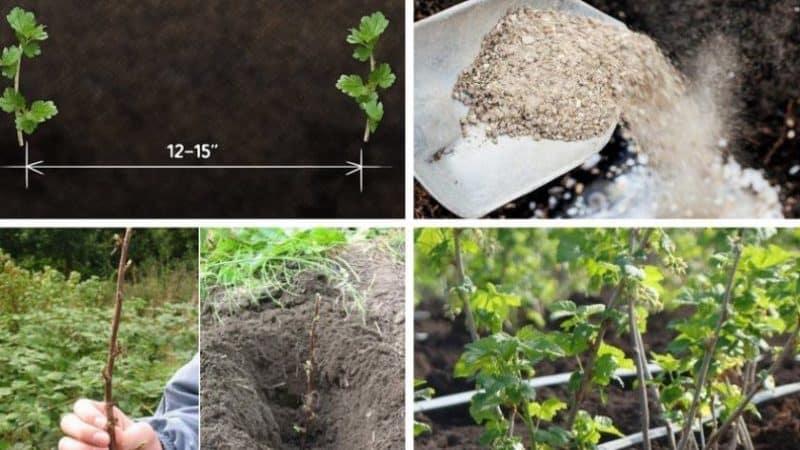 Как правильно размножить крыжовник летом черенками: поэтапное руководство