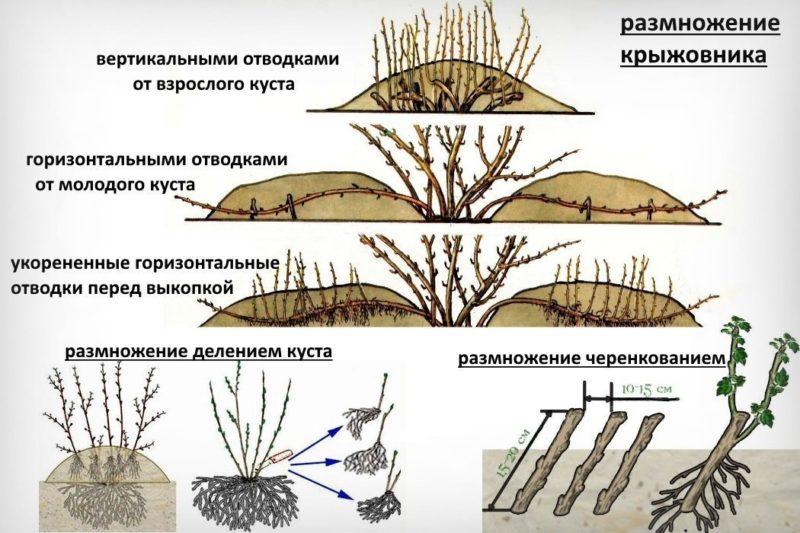 Бесшипный сорт крыжовника Черносливовый от российских селекционеров