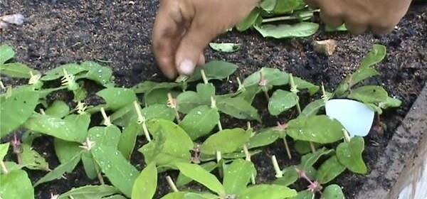 Как размножить жимолость каприфоль черенками летом