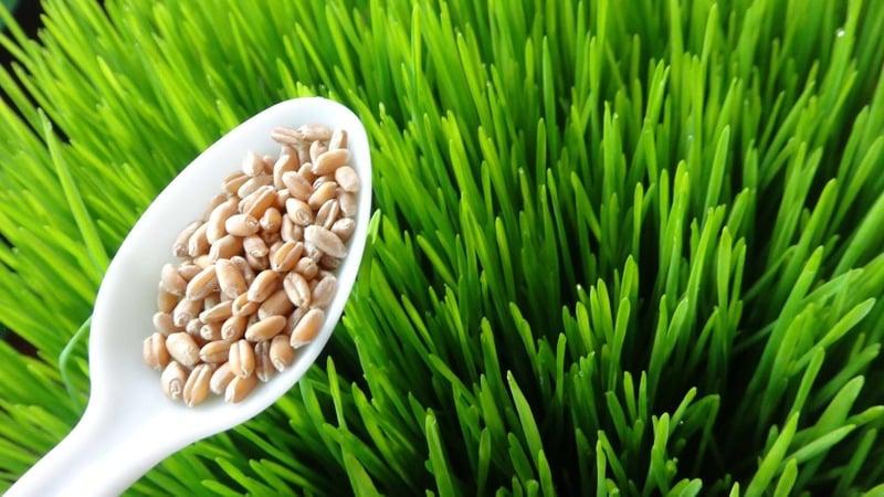 Особенности изготовления и употребления проростков пшеницы
